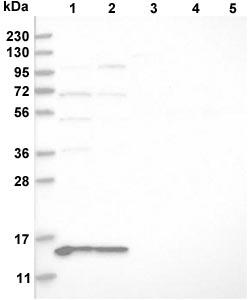 Western blot - Anti-MRPL41 antibody (ab121821)