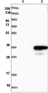Western blot - Anti-SLD5 antibody (ab121874)