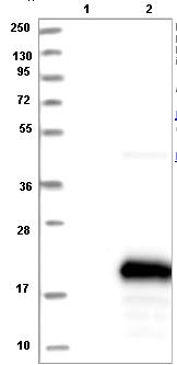 Western blot - Anti-C1orf21 antibody (ab121891)