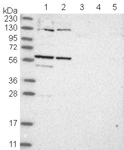 Western blot - Anti-C1orf114 antibody (ab121937)