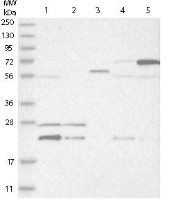 Western blot - Anti-HINT3 antibody (ab121960)