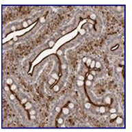Immunohistochemistry (Formalin/PFA-fixed paraffin-embedded sections) - Anti-srGAP2 antibody (ab121976)