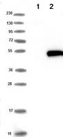 Western blot - Anti-HENMT1 antibody (ab121991)