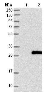 Western blot - Anti-C1orf105 antibody (ab121993)