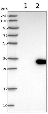 Western blot - Anti-LRP5L antibody (ab122013)