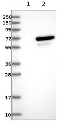 Western blot - Anti-UBOX5 antibody (ab122022)