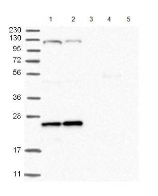 Western blot - Anti-ARL4C antibody (ab122025)