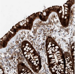 Immunohistochemistry (Formalin/PFA-fixed paraffin-embedded sections) - Anti-KIAA2018 antibody (ab122042)