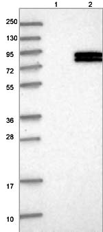 Western blot - Anti-FOXRED2 antibody (ab122182)