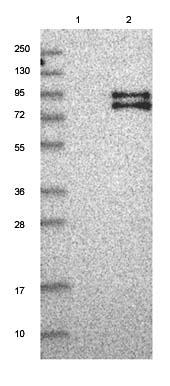 Western blot - Anti-FOXRED2 antibody (ab122183)