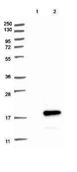Western blot - Anti-C6orf57 antibody (ab122196)