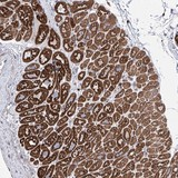 Immunohistochemistry (Formalin/PFA-fixed paraffin-embedded sections) - Anti-LCLAT1 antibody (ab122197)