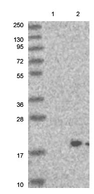 Western blot - Anti-C22orf32 antibody (ab122209)