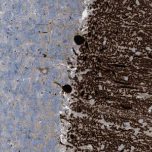 Immunohistochemistry (Formalin/PFA-fixed paraffin-embedded sections) - Anti-ARHGEF33 antibody (ab122222)