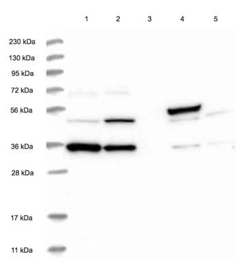 Western blot - Anti-SYCP2L antibody (ab122224)