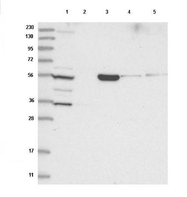 Western blot - Anti-FAM114A2 antibody (ab122297)