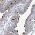 Immunohistochemistry (Formalin/PFA-fixed paraffin-embedded sections) - Anti-DNAH5 antibody (ab122390)