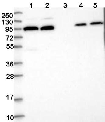 Western blot - Anti-FAM179A antibody (ab122395)
