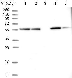 Western blot - Anti-NEURL1B antibody (ab122400)