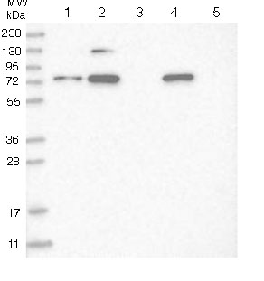 Western blot - Anti-C3orf25 antibody (ab122408)