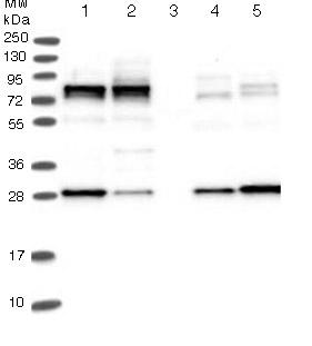 Western blot - Anti-LSG1 antibody (ab122409)