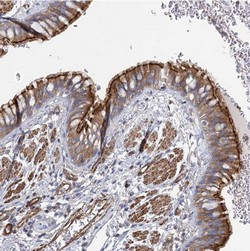 Immunohistochemistry (Formalin/PFA-fixed paraffin-embedded sections) - Anti-IFT46 antibody (ab122422)