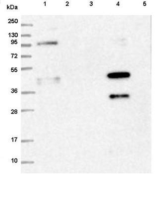 Western blot - Anti-PYROXD1 antibody (ab122458)