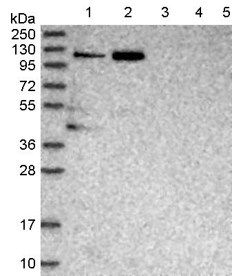 Western blot - Anti-TRAP-1 antibody (ab122468)