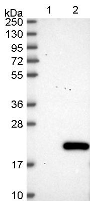 Western blot - Anti-C11orf1 antibody (ab122472)