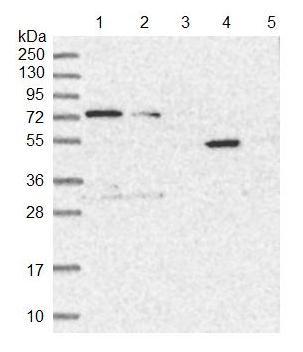 Western blot - Anti-TTC12 antibody (ab122484)