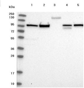 Western blot - Anti-FCHSD2 antibody (ab122485)