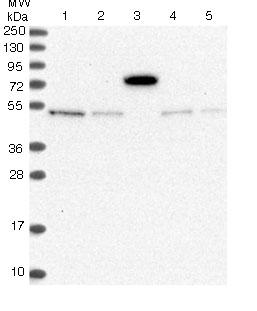 Western blot - Anti-C11orf61 antibody (ab122502)