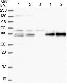 Western blot - Anti-PRRC1 antibody (ab122544)