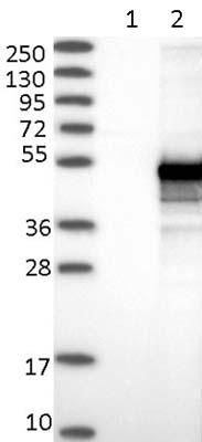 Western blot - Anti-CCDC89 antibody (ab122550)