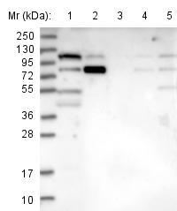Western blot - Anti-WHAMM antibody (ab122572)