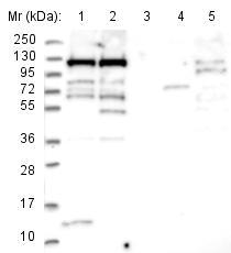 Western blot - Anti-MPP8 antibody (ab122575)