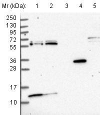 Western blot - Anti- MRP63  antibody (ab122586)