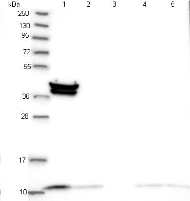 Western blot - Anti-TIMM10 antibody (ab122606)