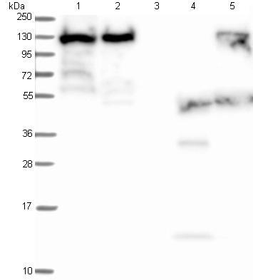 Western blot - Anti-MPP8 antibody (ab122611)