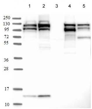 Western blot - Anti-Sec24C antibody (ab122633)