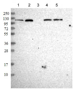 Western blot - Anti-Sec24C antibody (ab122635)