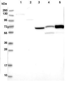 Western blot - Anti-CNNM1 antibody (ab122648)