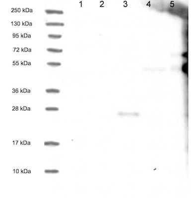 Western blot - Anti-XP32 antibody (ab122672)