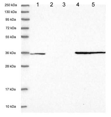 Western blot - Anti-FAM98C antibody (ab122679)
