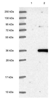 Western blot - Anti-ROGDI antibody (ab122686)