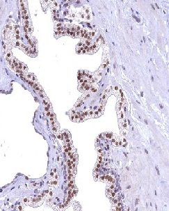 Immunohistochemistry (Formalin/PFA-fixed paraffin-embedded sections) - Anti-FLYWCH2 antibody (ab122712)