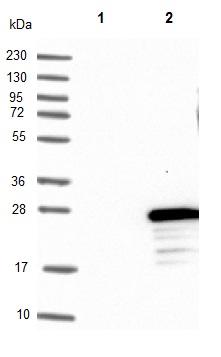 Western blot - Anti-FLYWCH2 antibody (ab122712)