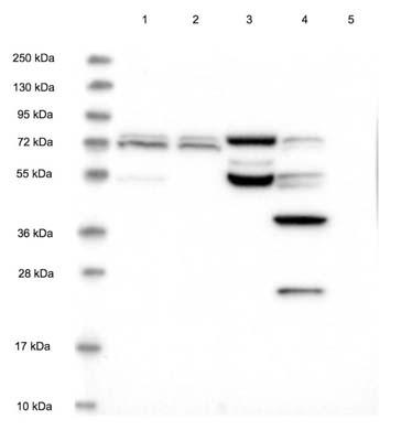 Western blot - Anti-CDKN2AIP antibody (ab122715)