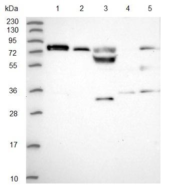 Western blot - Anti-PODNL1 antibody (ab122818)