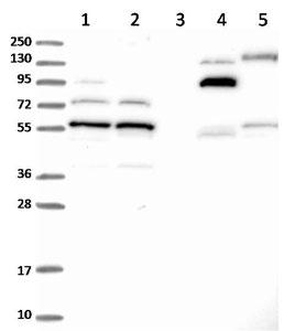Western blot - Anti-C5orf22 antibody (ab122828)
